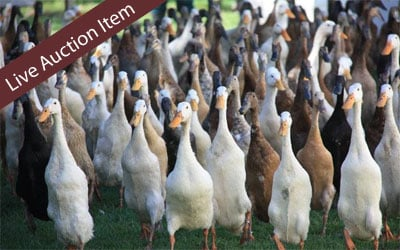DUCK DUCK GOOSE – Peddi-manure, mulch, vegetables and runner ducks